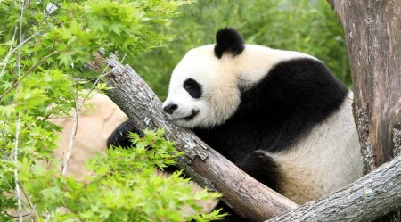 big-03-03-2015-1425410492-mr-panda04-zooparc-de-beauval